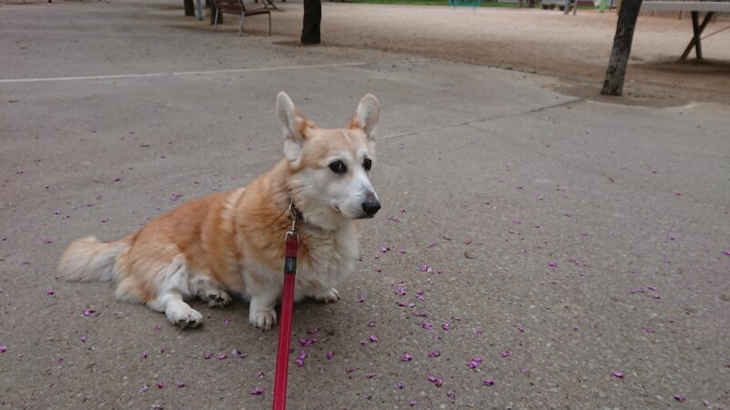 Nemo Welsh Corgi